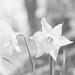 High Key Daffodil