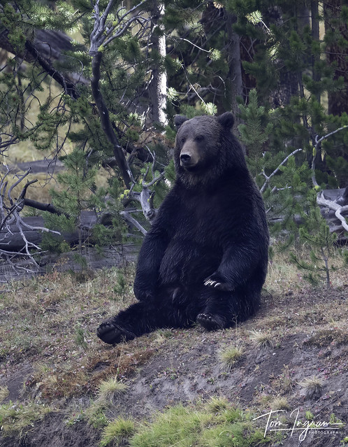 Grizzly 791 showing his man hood