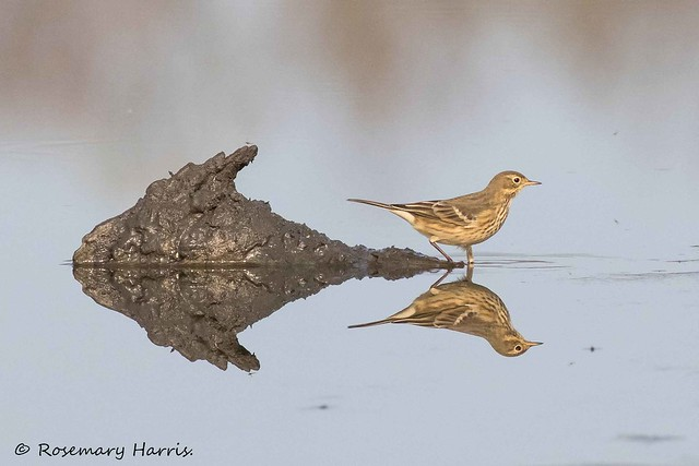 American Pipit - Explored.