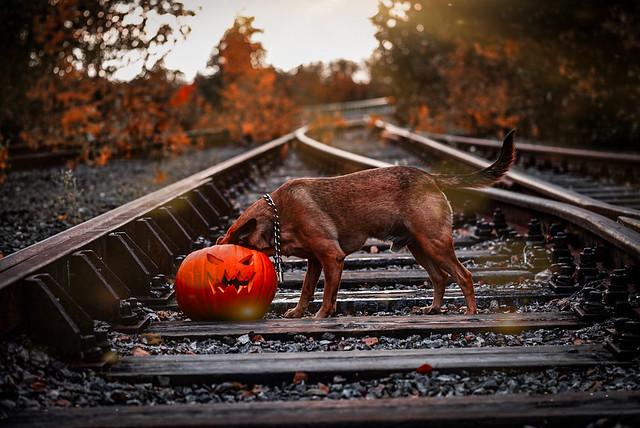 Halloween photoshoot , Tarmo is a great Halloweendog.