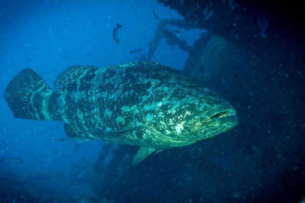 Goliath Grouper II