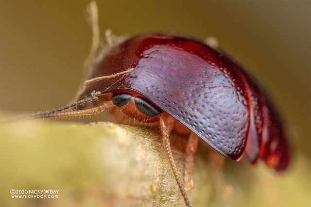 Pill cockroach (Perisphaerus sp.) - DSC_7517