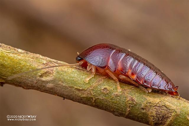 Pill cockroach (Perisphaerus sp.) - DSC_7499
