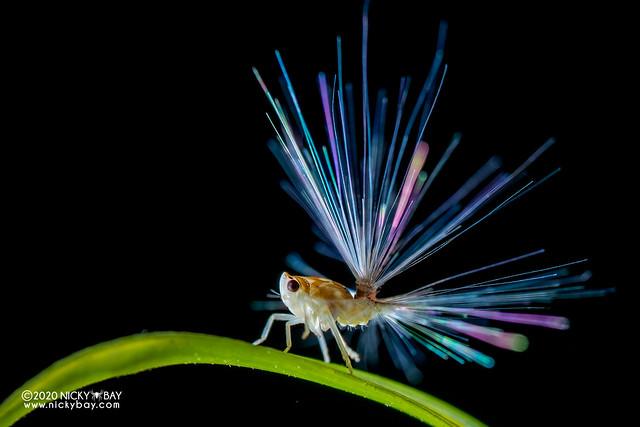 Planthopper nymph (Fulgoroidea) - DSC_7471