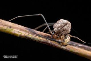 Comb-footed spider (cf. Platnickina sp.) - DSC_7388