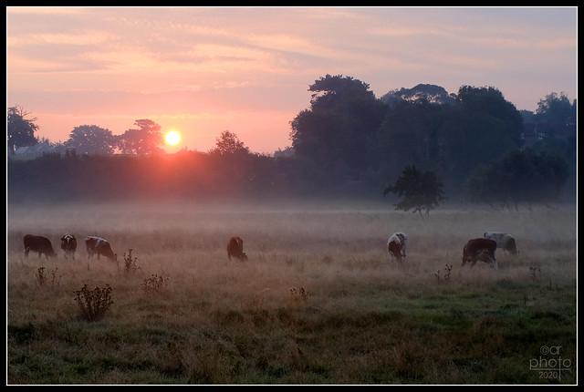 Bovine Sunrise