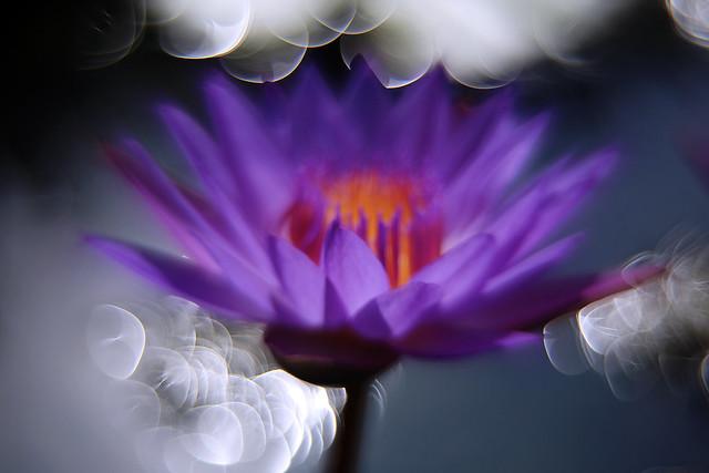 花散景 / Lotus Bokeh