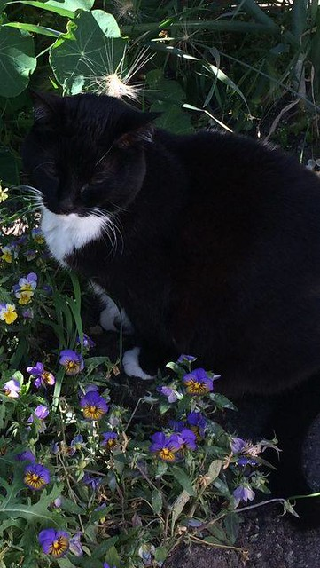 LOST 10y/o Female Black w/ white belly domestic short hair Cat in #Southwood. Tattooed and Microchipped, last seen Sept 18 2020. Pls RT, Share to help find Skywalker. Missing cat. 10 year old spayed female domestic short hair. Black with white belly and p