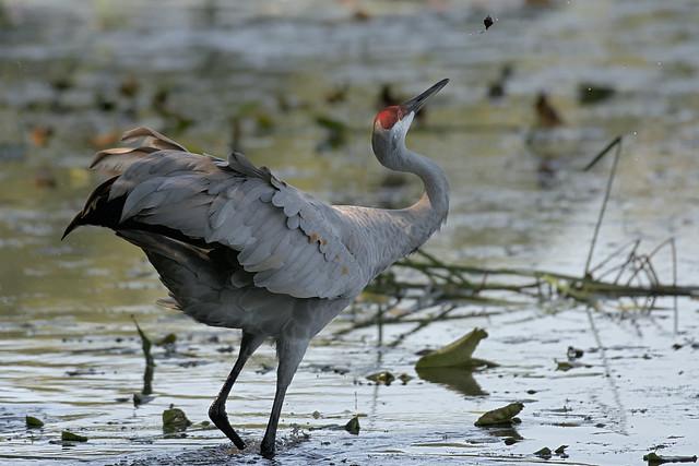 Sandhill Crane Toss