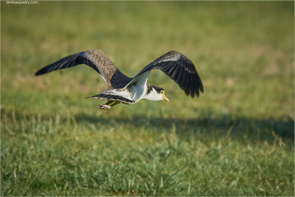 Masked Lapwing: Up Wings, UP!