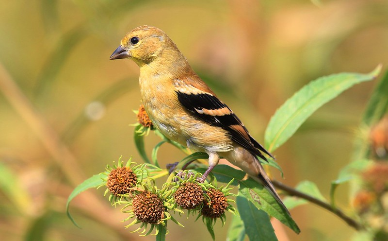 American goldfinch eating sawtooth sunflower seeds at Decorah Fish Hatchery IA 653A5878