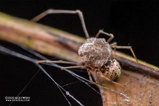 Comb-footed spider (cf. Platnickina sp.) - DSC_7382