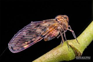 Planthopper (Derbidae) - DSC_7310