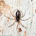 Euryopis umbilicata (Striped tick spider)
