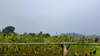 Ein Sonnenblumenfeld bei mir im Dorf