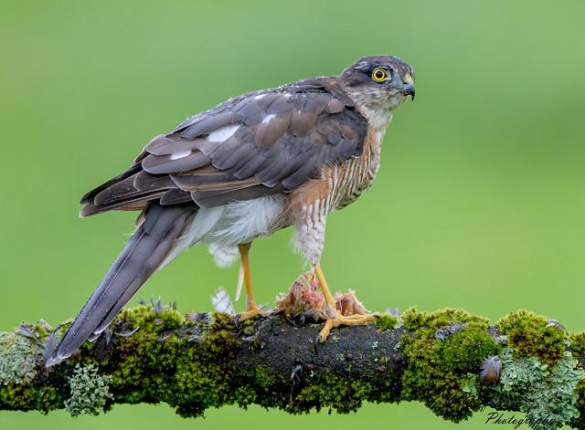 DSC8537  Sparrowhawk...