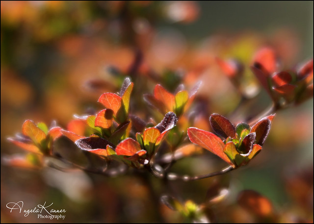 Azalea In Her Autumn Colors...