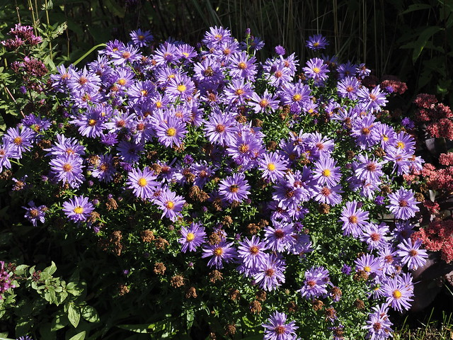 Aster dumosus 'Early Blue'