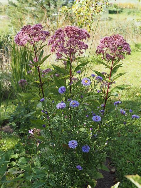 Aster novi-belgii 'Marie Ballard' & Eupatorium maculatum 'Riesenschirm'
