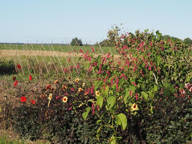 Dahlias & Persicaria orientalis