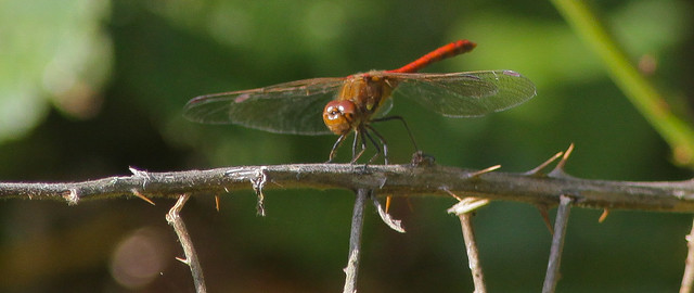 Dragonfly..Common darter