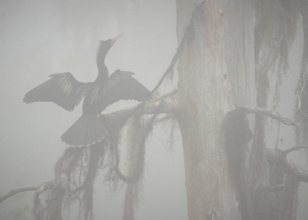 Anhinga, early morning fog