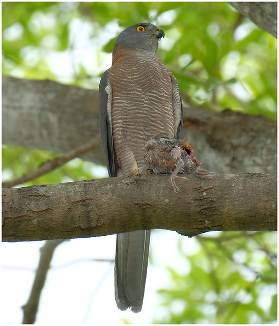 Brown Goshawk with the results of a nest raid - my home garden, Darwin, NT, Australia
