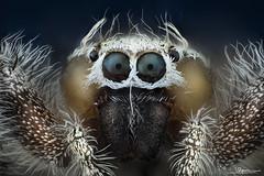 araña saltarina [8x]