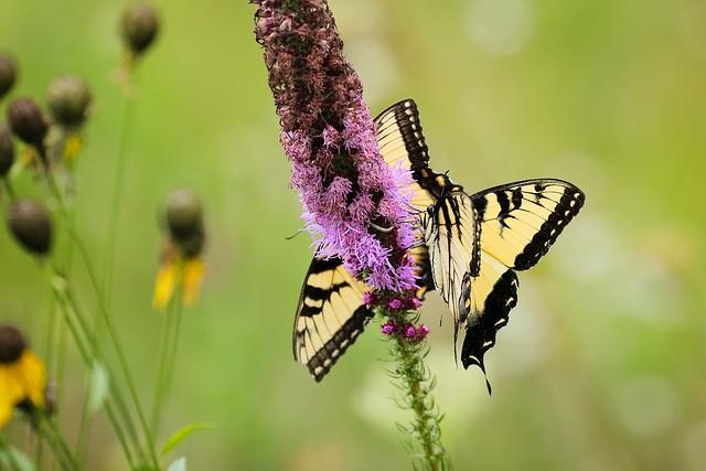 Swallowtails on Prairie blazing star