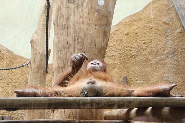 Orangutan, posing (II)
