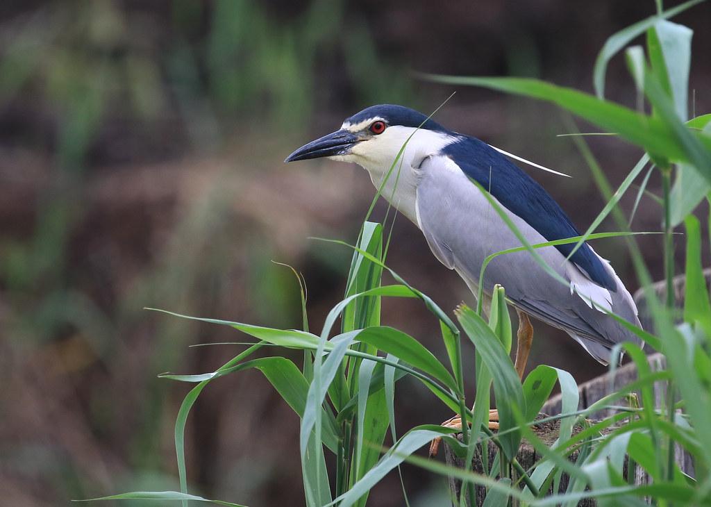 Bihoreau gris - Hortobágyi/Hajdú-Bihar/HU_20190529_030-1