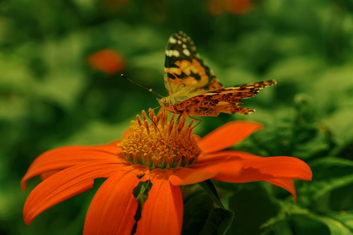butterfly photoshopelements2020 philbrookmuseum nikon28105 highqualityanimals greenbackground bokeh nikviveza photos paintedlady