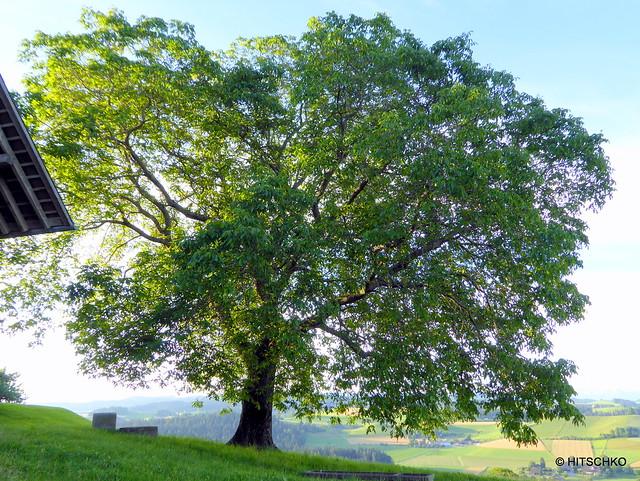 Dürreroth-Buechhus - Der prächtige grosse Nussbaum