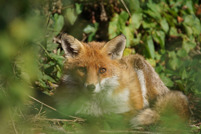 Red Fox - Roding Valley Meadows NR