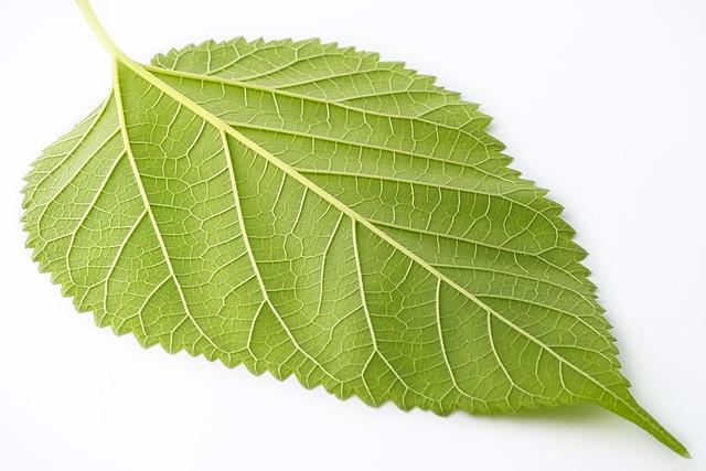 Mulberry Leaf Detail