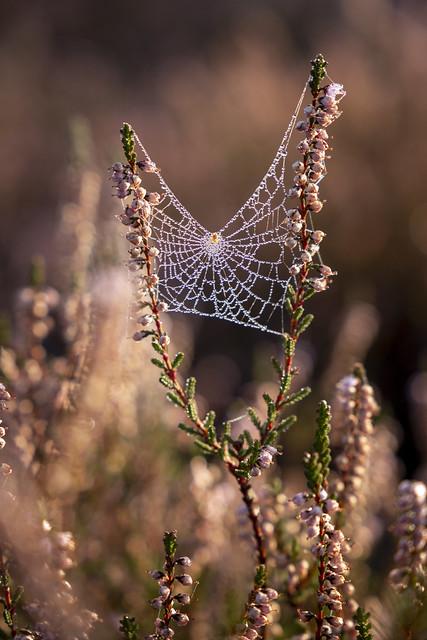 Spinnennetz im Heideland   Cobweb in the heathland