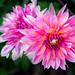 Pink Dahlia Brookside 3-0 F LR 9-20-20 J027