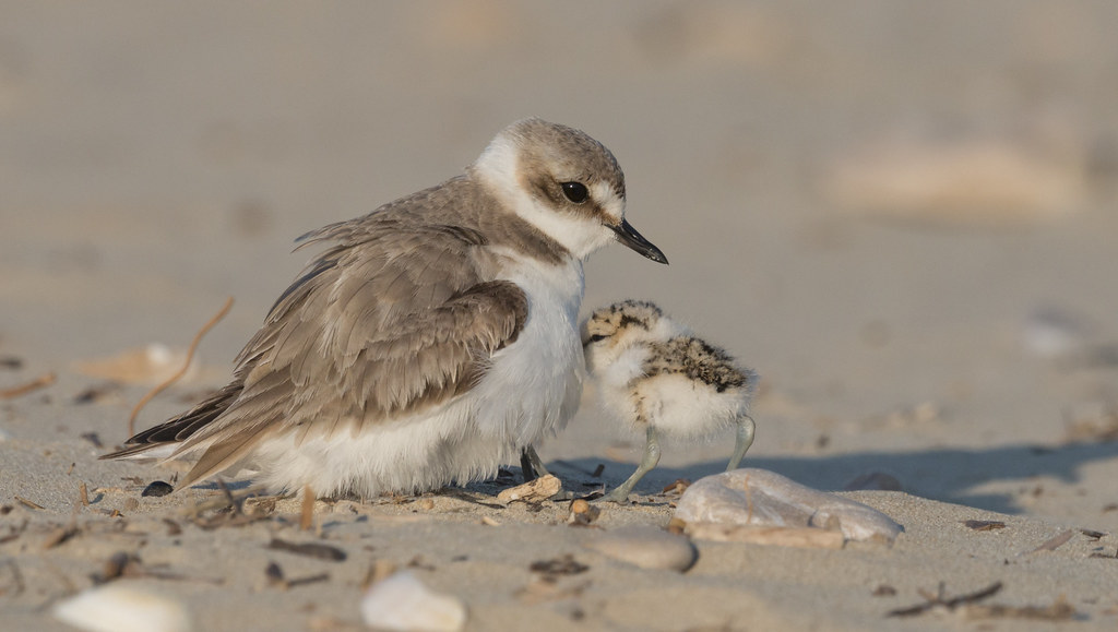 Plover mother with chick
