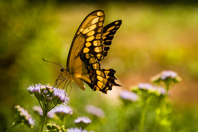 2020 Visions 9.16 ~ Eastern Swallowtail