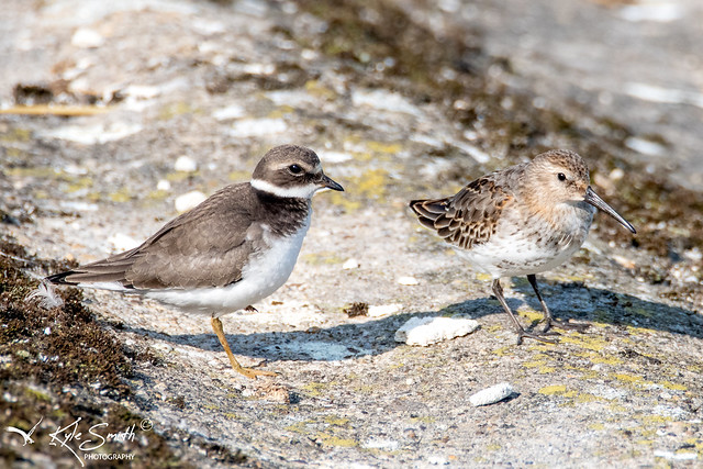 Ringed plover and dunlin