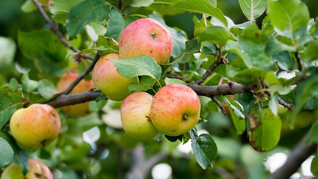 Pommes, apples - Marais-Léon-Provancher, PQ, Canada - 9297