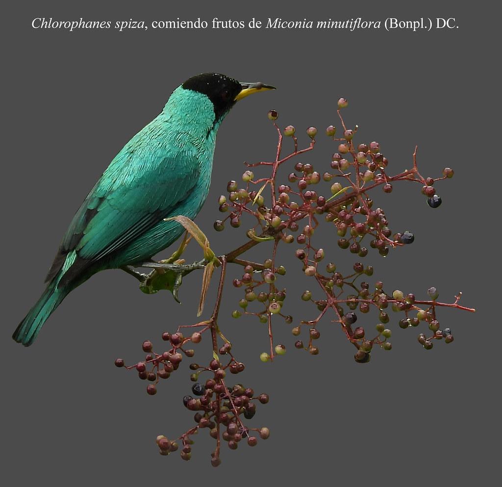Chlorophanes spiza, comiendo frutos de Miconia minutiflora (Bonpl.) DC.