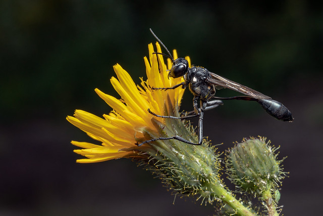 Thread-waisted Wasp (Eremnophila aureonotata)