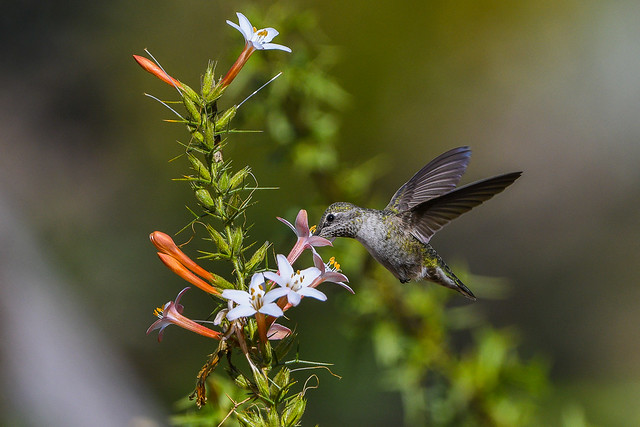 Anna's Hummingbird and Baja Phlox (Acanthogilia gloriosa)