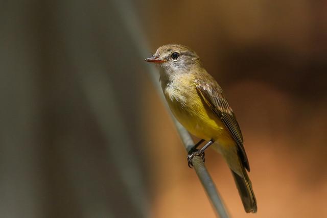 Lemon-bellied Fly-robin
