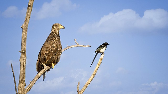 Magpie spotting fish for a juvenile Bald Eagle