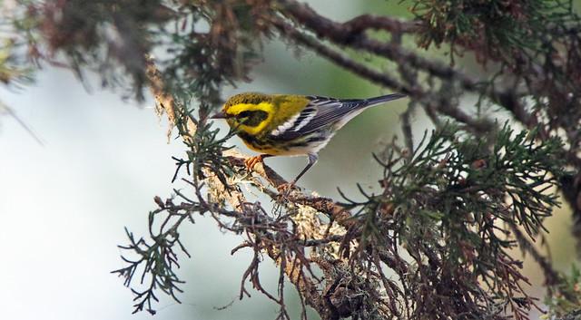 Townsend's Warbler (Stowe Lake, SF)