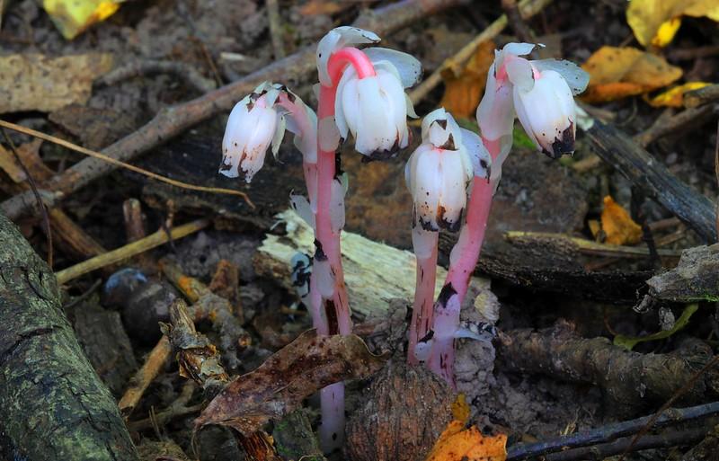 Indian pipe (Monotropa uniflora) in Winneshiek County IA 653A6180