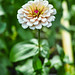 Zinnias in the backyard are in full bloom.