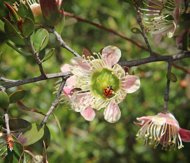 Leptospermum macrocarpum